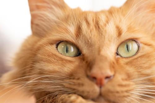 じっと見つめるチャトラ猫の顔アップ