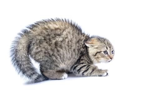 怖がって体を小さくしてイカ耳をしている猫