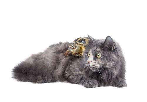 背中に亀をのる猫