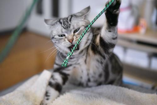 おもちゃに興奮して飛びつく猫