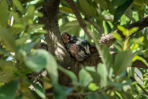 木の上で眠るハクビシン