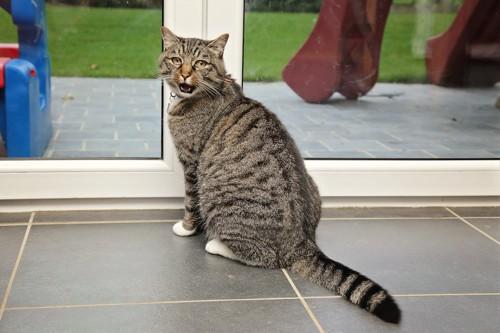 ドアの前に座って鳴く猫