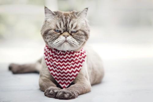 スタイを付けた不機嫌そうな猫