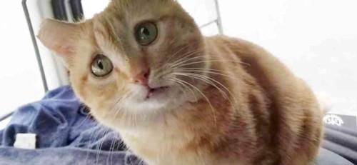 チャトラ猫正面