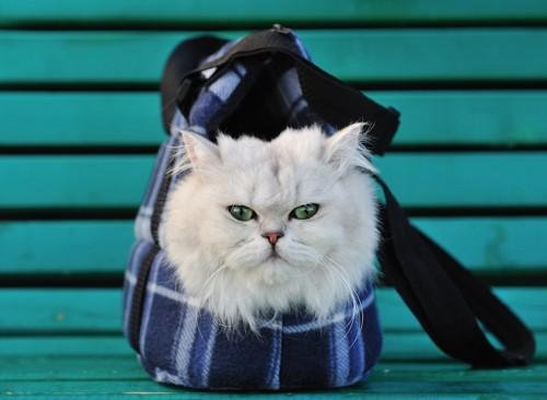 小さなカバンに入るペルシャ猫