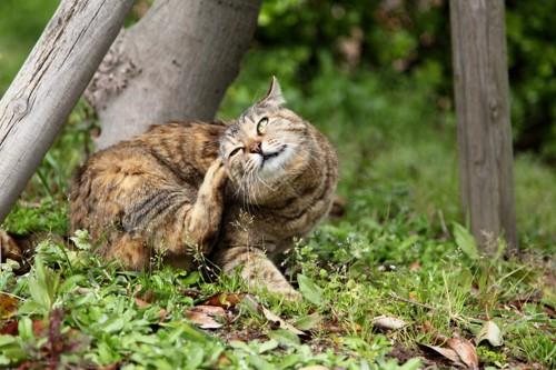 耳をかいている猫