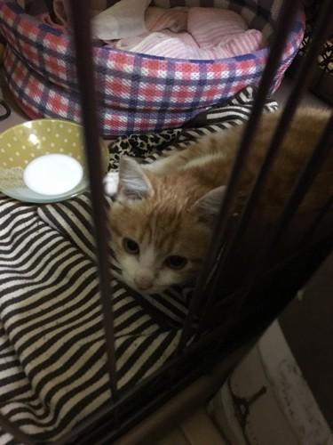 ゲージの中の子猫