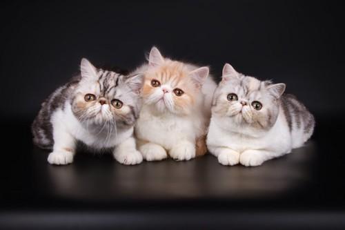 寄り添う三匹のエキゾチックショートヘアの子猫