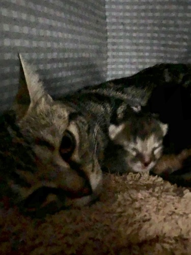 横になるママ猫と胸元の子猫