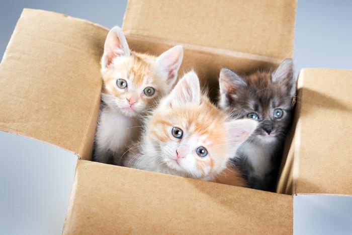 3匹の子猫が段ボールに入っている所