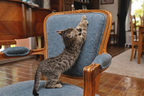 イスの背もたれで爪とぎをする猫