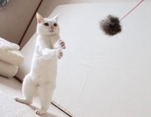 テニス部のような白猫さん