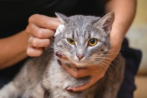 猫の耳を拭く女性の手