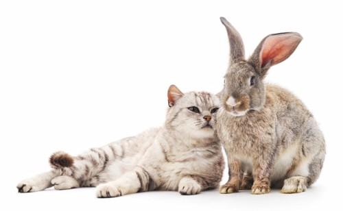 ウサギに寄り添う猫