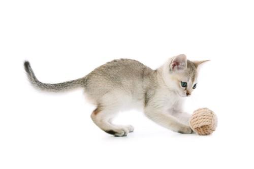 遊ぶシンガプーラの子猫