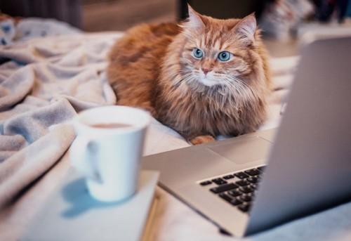 コーヒーを見つめる猫
