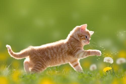 タンポポを触る子猫