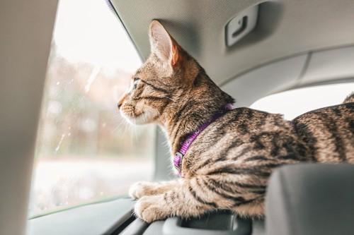 車に乗る首輪を着けている猫