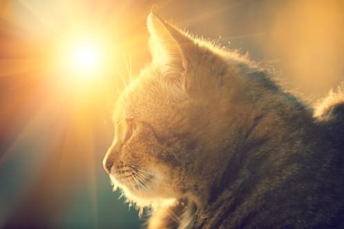 陽の光を浴びた猫の横顔