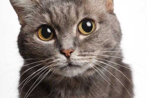 丸い瞳で見つめる猫