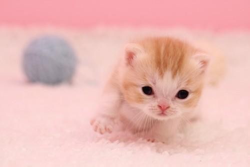 毛糸玉と生まれてまもないスコティッシュフォールドの子猫
