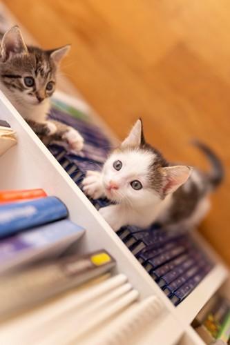 本棚によじ登ろうとする子猫と隙間に入る子猫