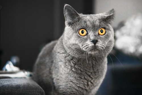 方耳を倒すグレーの猫