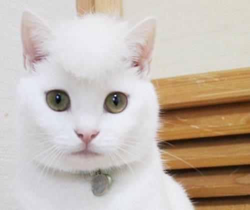 リーゼントになった白猫のリリーちゃん正面