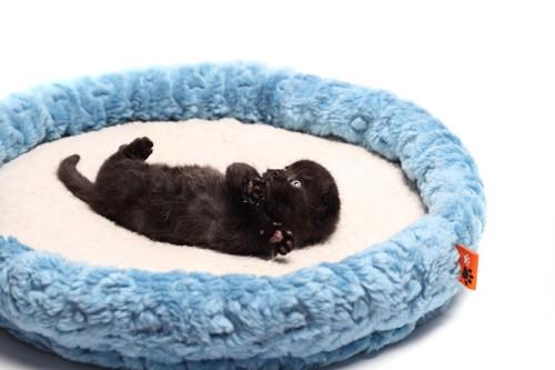 猫ベッドで寝転がる黒いスコティッシュフォールドの子猫
