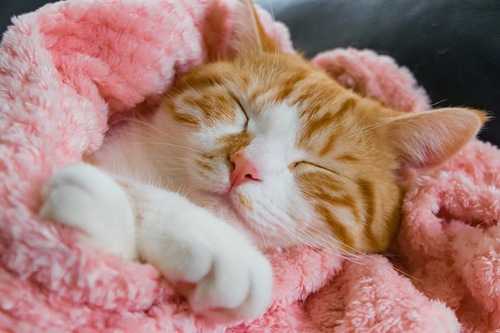 ピンクのブランケットに包まれて眠る猫