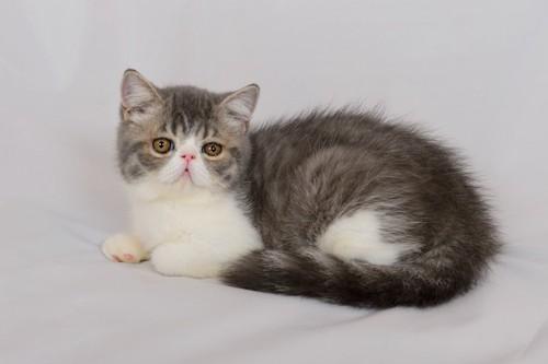 エキゾチックショートヘアのふわふわの子猫