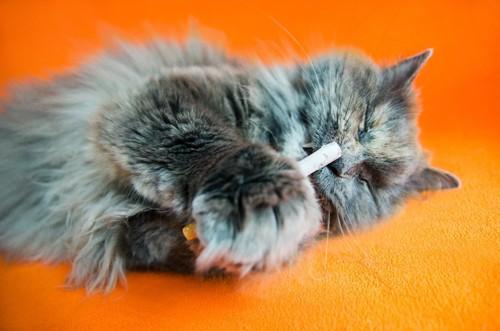 タバコに興味を持つ猫