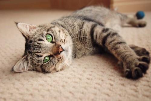 カーペットに寝そべる猫