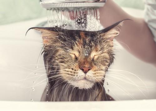 頭からシャワーをかけられて目を閉じている猫