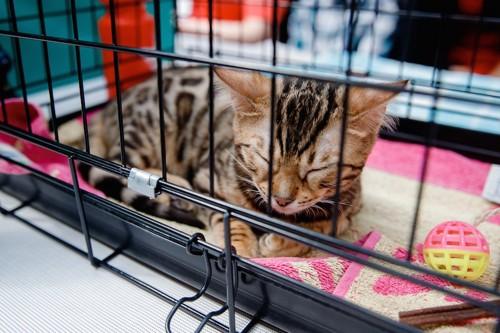 ケージの中で眠っている子猫