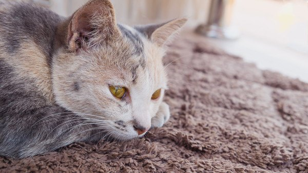 寂しそうに伏せる猫