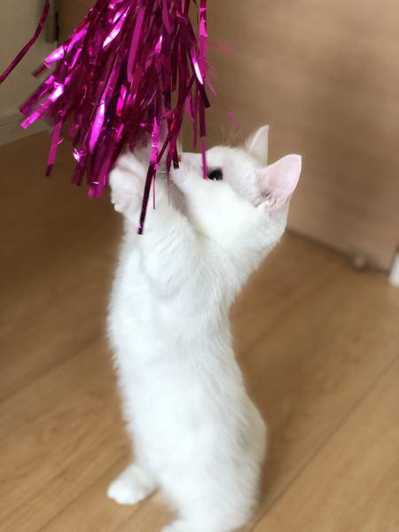短足なマンチカンの子猫