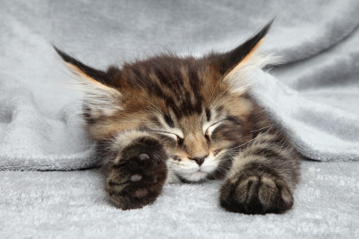 眠るメインクーンの子猫