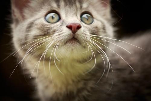 丸い目の子猫