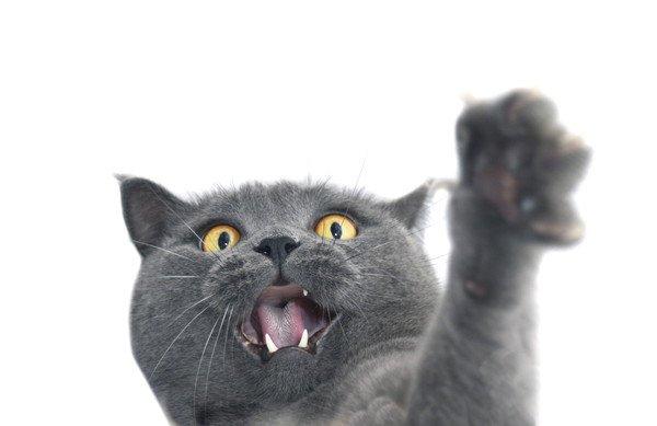 白い背景とグレーの猫