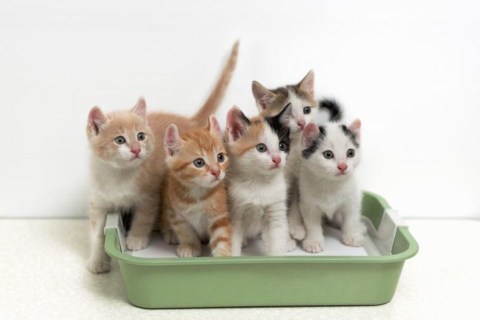 猫用トイレの中にいる子猫たち