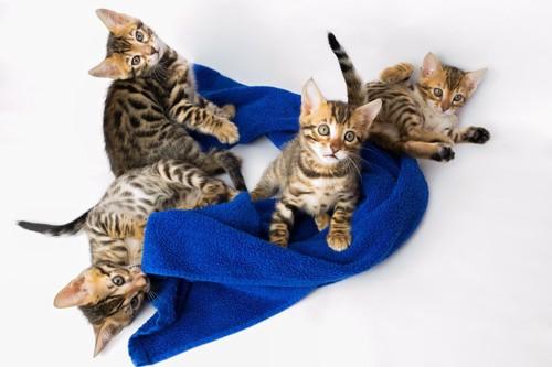 猫とタオル