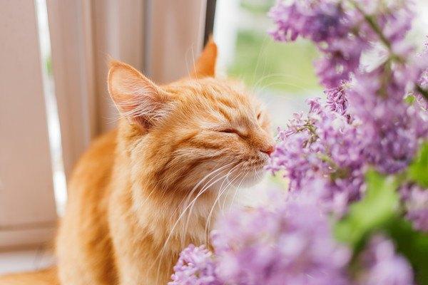 花の匂いを嗅ぐ茶トラ猫