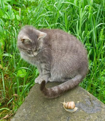 石の上でカタツムリを見つめる猫