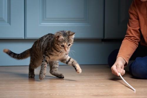 人の持つおもちゃで遊ぶ猫