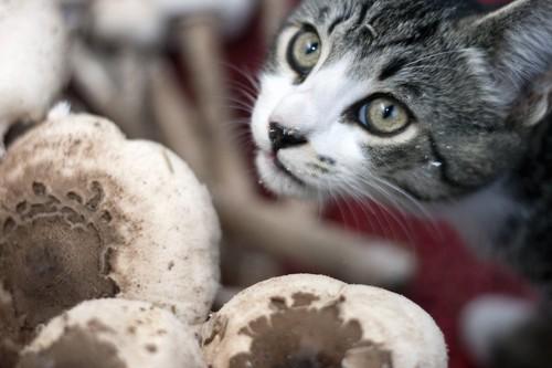 マッシュルームに顔を近づける猫