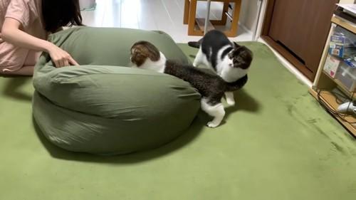 折れ耳の猫の後ろにいる立ち耳の猫