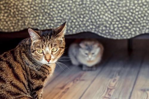 不満そうな猫とベッドの下にいる猫