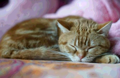 寝ているアメリカンショートヘア似の猫