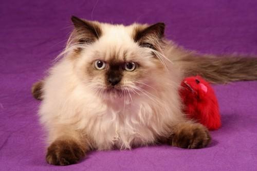ヒマラヤンタイプのペルシャ猫